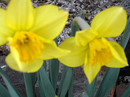 Daffodils Say It's Spring