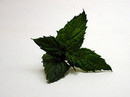 Sprig of Spearmint Leaves